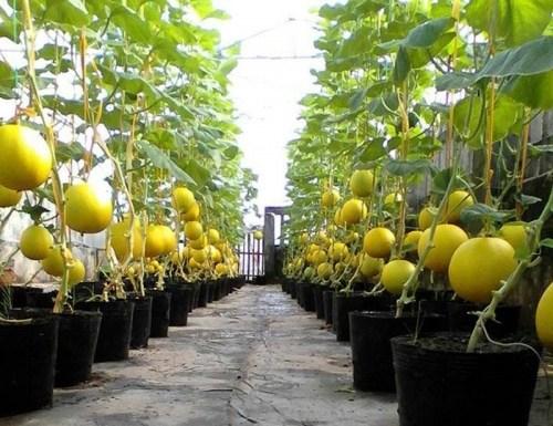 Chỉ 50m² sân thượng, mẹ Hà Nội trồng được hơn 1 tạ dưa lưới khiến nông dân cũng